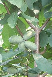 JA 海部東農業協同組合(あまひがし) -各地で珍しい野菜・果実ができる