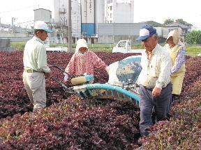 JA 海部東農業協同組合(あまひがし) -特産の赤シソを収穫、出荷
