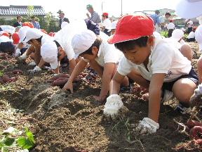 JA 海部東農業協同組合(あまひがし) -小さな手で大きなサツマイモを掘り出す