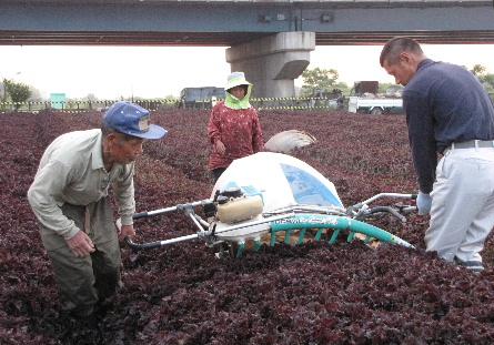 JA 海部東農業協同組合(あまひがし) -特産の赤シソを収穫・出荷