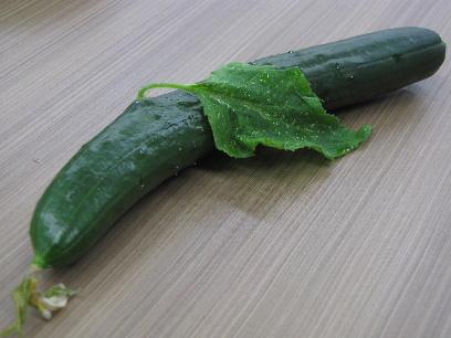 JA 海部東農業協同組合(あまひがし) -実から葉が生えた! 不思議なキュウリ