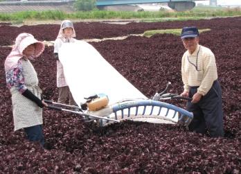 JA 海部東農業協同組合(あまひがし) -特産赤シソの出荷が始まる