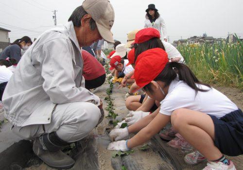 JA 海部東農業協同組合(あまひがし) -美和支店が協力 サツマイモの定植で農業体験