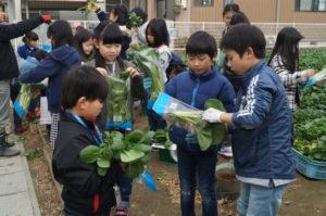 JA 海部東農業協同組合(あまひがし) -大治小学校 農業体験  冬の葉物野菜を収穫