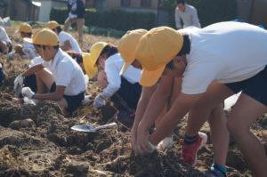 JA 海部東農業協同組合(あまひがし) -小学生が農業体験 サツマイモ収穫