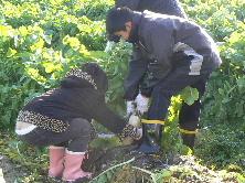 JA 海部東農業協同組合(あまひがし) -「方領大根」の収穫楽しむ