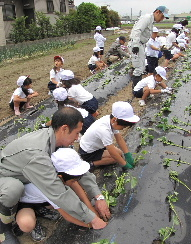JA 海部東農業協同組合(あまひがし) -小さな手でサツマイモを植え付け
