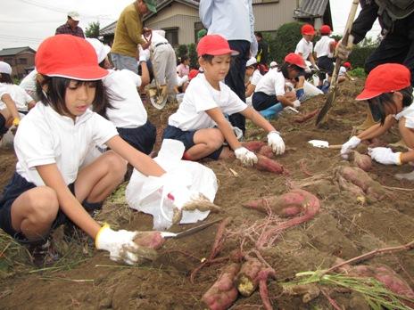 JA 海部東農業協同組合(あまひがし) -色々な形のサツマイモを収穫