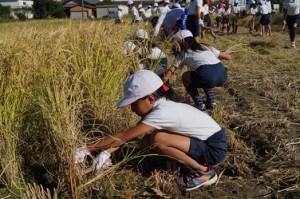 JA 海部東農業協同組合(あまひがし) -美和小、美和東小児童稲刈り体験
