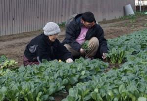 JA 海部東農業協同組合(あまひがし) -特産品「コマツナ」をテレビで紹介