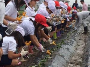 JA 海部東農業協同組合(あまひがし) -小学生がサツマイモを定植