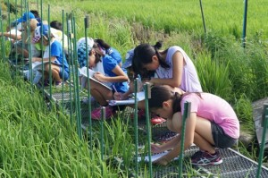 JA 海部東農業協同組合(あまひがし) -子どもたちが稲の生育調査を行う