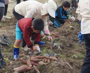 JA 海部東農業協同組合(あまひがし) -子どもたちが土と触れ合いながらさつまいも掘り