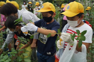 JA 海部東農業協同組合(あまひがし) -自分で植えたモロヘイヤを収穫 大治南小学校