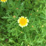 JA 海部東農業協同組合(あまひがし) -シュンギク 収穫後に花も楽しもう