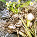 JA 海部東農業協同組合(あまひがし) -ニンニク 適期に植え付け、追肥と灌水を行う