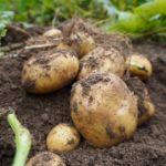 JA 海部東農業協同組合(あまひがし) -ジャガイモ 多様な品種を楽しむ