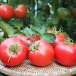 JA 海部東農業協同組合(あまひがし) -トマト 完熟でおいしさアップ