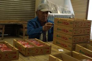 JA 海部東農業協同組合(あまひがし) -神守いちご生産組合 市場への出荷作業がピークを迎える