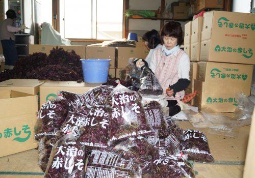 JA 海部東農業協同組合(あまひがし) -大治しそ出荷組合 大治町特産赤シソ出荷が始まる