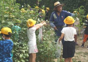 JA 海部東農業協同組合(あまひがし) -大治町農業振興会 大治小学校のモロヘイヤ収穫体験