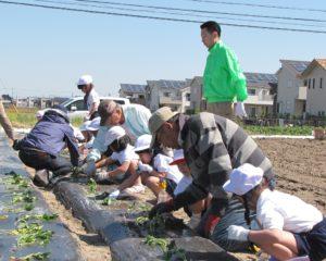 JA 海部東農業協同組合(あまひがし) -農業体験 サツマイモの 定植