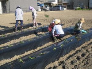 JA 海部東農業協同組合(あまひがし) -秋に向けてサツマイモの苗を定植