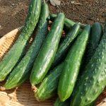 JA 海部東農業協同組合(あまひがし) -キュウリ作り成功のポイント