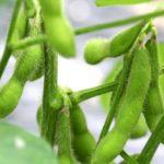 JA 海部東農業協同組合(あまひがし) -エダマメ 肥料は控えめに